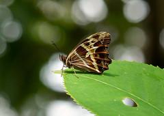 Starred Oxeo --- Oxeoschistus tauropolis (creaturesnapper) Tags: xandariresort costarica butterflies lepidoptera insects starredoxeo oxeoschistustauropolis nymphalidae