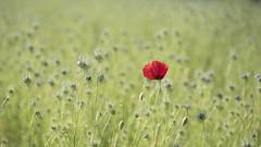 Coquelicot & Co **--- ----° (Titole) Tags: poppy nigellededamas nigella nigelladamascena buds red alone unanimouswinner thechallengefactory challengegamewinner