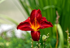 Fire sensation #1 (Nikolaos Gavrilakis) Tags: gavrilakis nikon 24120 flower garden fire sensation wilhelma stuttgart λουλούδι άνθοσ αίσθηση φωτιά κήποσ νίκοσγαβριλάκησ d750