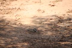 Round-tailed Ground Squirrel - Desert Botanical Gardens (Phoenix, Arizona - July 2018) (cseeman) Tags: desertbotanicalgardens dbg desertbotanicalgardensphoenix botanicalgardens publicgardens gardens succulents cactus phoenix arizona sonorandesert desert plants trees flowers arid barbie2018 dbg2018 wildlife wildlifeatdbg squirrels squirrelsofarizona roundtailedgroundsquirrels roundtailedsquirrels groundsquirrels