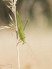 La sauterelle *-* (Titole) Tags: grasshopper sauterelle grass titole nicolefaton friendlychallenges storybookwinner