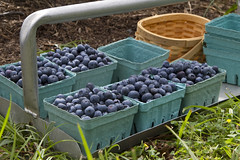 Almost There... (brucetopher) Tags: flower bloom bud blue berry berries blueberry blueberries purple farm fresh pickyourown pick harvest ripe ripen ripened fruit outdoor ripening basket carry handle pint pints box boxes halfdozen 6 baskets picking farming yummy