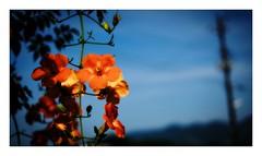 campsis grandiflora (kouji fujiwara) Tags: summer campsis grandiflora fujifilm fujifilmxpro2 xpro2 fujinon xf35mmf14 35mm f14