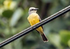 IMG_3510 Tropical Kingbird (suebmtl) Tags: elvalledeanton bird birding flycatcher panama tropicalkingbird tyrannusmelancholicus