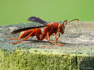 Red Wasp on a Fence Post.
