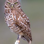 Burrowing Owl - adult  (in explore) thumbnail
