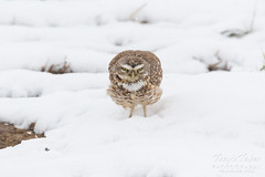 April 21, 2018 - A Burrowing Owl doesn't seem happy with the snow. (Tony's Takes)