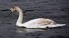 Juvenal Mute Swan (p.mathias) Tags: swan bird animals animal scotland hamilton uk unitedkingdom europe strathclydecountrypark lake loch nature wildlife wild