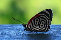 Butterfly 88 (Walter F.S.) Tags: butterfly beauty wings nature naturaleza mariposa belleza 88 number bokeh enfoque desenfoque focus insect red