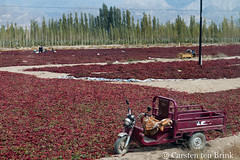 The chilli drying fields of Korla (10b travelling / Carsten ten Brink) Tags: 10btravelling 2017 asia asian asien bayingholinmongolautonomousprefecture carstentenbrink china chine chinese iptcbasic korla kuerle kurla prc peoplesrepublicofchina silkroad taklaman xinjiang xinjianguyghurautonomousregion agriculture chili chilli chillis desert drying field peppers tenbrink 中华人民共和国 中国 库尔勒