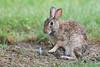 Mom and her baby (adbecks) Tags: rabbit d500 200500 nikon wildlife bunny parenting baby animal nj