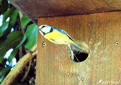 Mésange bleue (jean-daniel david) Tags: oiseau volatile feuille feuillage réservenaturelle nature envol mésange mésangebleue nichoir bois forêt arbre