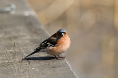BOFINK | COMMON CHAFFINCH | (timpic_) Tags: bird animal nature wildlife birdlife finch chaffinch fågel bofink fink natur sweden linköping tamron canon animalplanet