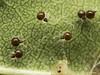 Famille Theridiidae - Theridula emertoni (juvéniles) (Répertoire des insectes du Québec) Tags: arachnide araignée arachnida macro quebec spider