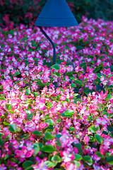 Buchart Gardens (miguel_sanada) Tags: canada vancouverisland victoria britishcolumbia butchartgardens garden flower canon5d 2470mmf28