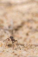 Vie laborieuse (Maxime BEAUJEON) Tags: fourmi hyménoptères creuse sable galeries fourmilière insecte macro 105mm sigma nikon d500