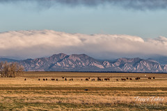 Bison graze in the shadows of the Rocky Mountains