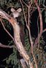Southern Greater Glider (Petauroides volans) (elliotbudd) Tags: southern greater glider petauroides volans seq gold coast queensland elliot budd marsupial australia