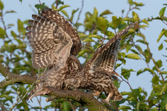 my Project 2018 (eric-d at gmx.net) Tags: littleowl owl eule steinkauz strigidae athenenoctua eric ngc wildlife kauz