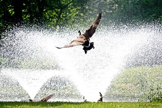 Canada Goose Flying Toward the Fountains