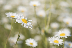Les marguerites *----+ (Titole) Tags: daisies many wildflowers white yellow titole nicolefaton shallowdof friendlychallenges 15challengeswinner