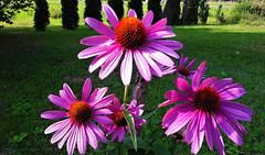 Rózsaszín nyári virágok (Ják) (milankalman) Tags: flower pink summer garden nature plant