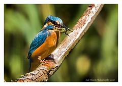 The little master fishing machine (awardphotography73) Tags: ukbirds feedingbirds colourfulbirds colours wales cardiff forestfarm kingfisherfishing wildbirds birds kingfisher