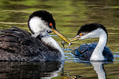 Parenting - explored (alicecahill) Tags: cute california usa westerngrebe wildlife ©alicecahill sanluisobispocounty baby bird centralcoast chick grebe parent wild santamargaritalake animal