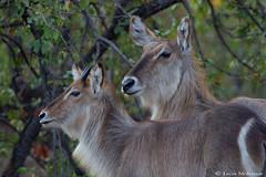 Female Waterbuck & calf (leendert3) Tags: leonmolenaar southafrica krugernationalpark wildlife nature mammals waterbuck ngc npc coth5