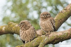 Little Owls (Athene noctua) - East Sussex (PeterBrooksPhotography) Tags: athenenoctua 200500 bird d500 eastsussex farm morninglight nikon peterbrooksphotography season summer sun sunrise sussex uk wildlife eyes habitat littleowlathenenoctua owl perched raptor tree trees wild ©peterbrooks