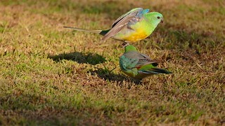 Red Rumped Parrots (Males)