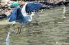 L'envol du Héron cendré 02 (jean-daniel david) Tags: oiseau oiseaudeau nature réservenaturelle lac lacdeneuchâtel eau héron héroncendré envol reflet bokeh