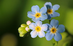Forget-Me-Nots (TomIrwinDigital) Tags: