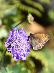 Meadow Brown Butterfly, on Scabious (littlestschnauzer) Tags: meadow brown emley nature insects insect winged 2018 june summer scabious blue flowers flower pollen petals garden yorkshire west uk british wildlife eye pattern small pretty summertime village rural countryside