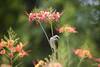 A common beaty (Senkethya) Tags: birds wildlife wildbird nikon nikond810 tamron tamron150600mm photography bulbul