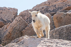 Mountain Goat kid bounds by - Sequence - 8 of 17