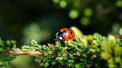 It's A Beautiful Morning.. (Philip R Jones) Tags: ladybird sunny heather