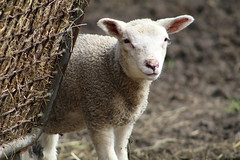 Hello Its Me , i'm  very Sweet !!! (excellentzebu1050) Tags: lamb newlife animal livestock farm closeup outdoor coth5