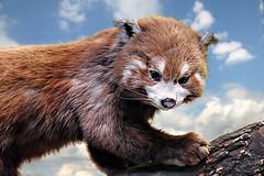 Red Panda (andycurrey2) Tags: redpanda animal nature fauna portrait sky face fur cute 7dwf