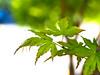 Green Leaves Tinge 2 of 2 (Orbmiser) Tags: kfconceptlensmountadapternikonglenstomicro43 nikkor28105mmf3545d nikonlens omdem1 manual olympus oregon portland m43rds leaf leaves bokeh