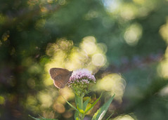 Happy Sunday! (ursulamller900) Tags: eupatoriumcannabinum wasserdost aphantoposhyperantus braunerwaldvogel trioplan2950 butterfly schmetterling mygarden bokeh summer
