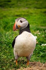 Sian Ashcroft Photography - Skomer Island Puffins-2 (Sian Ashcroft) Tags: puffin skomer island wales summer birds wildlife