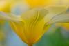 A dreamy tulip (Roland B43) Tags: tulip tulp keukenhof lisse