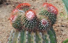 DSC_0611 (RachidH) Tags: flowers blooms blossoms cactus cactii thorns thornyplants succulents meloncactus melocactus turkscapcactus têteàlanglais siègedebellemère carribean westindies antilles meadsbay anguilla rachidh nature