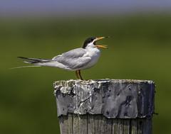 Tern't up. (crabsandbeer (Kevin Moore)) Tags: birds bombayhook delaware nature portmahon water wildlife tongue beak pier waterfowl tern leasttern bird forsterstern