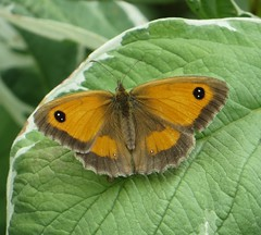 IRRESISTABLE (d p hughes) Tags: gatekeeper pyroniatithonus butterflies bugs insects nature wildlife garden outdoor colour macro crewe cheshire