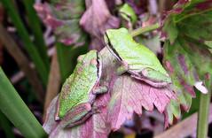 Two on a leaf (TJ Gehling) Tags: amphibian frog chorusfrog treefrog pacificchorusfrog pacifictreefrog pseudacris pseudacrisregilla plant flower leaf apiales apiaceae waterparsley oenanthe oenanthesarmentosa pond canyontrailpark elcerrito