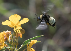 Bee and wildflowers (jim_mcculloch) Tags: 5571b insects bees wildflowers flowers