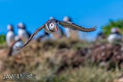Time to duck ...-0651 (George Vittman) Tags: bird flight puffin penguin nikonpassion wildlifephotography jav61photography jav61 fantasticnature