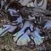 Mazzaella splendens, Splendid Iridescent Seaweed (marlin harms) Tags: mazzaellasplendens seaweed splendidiridescentseaweed